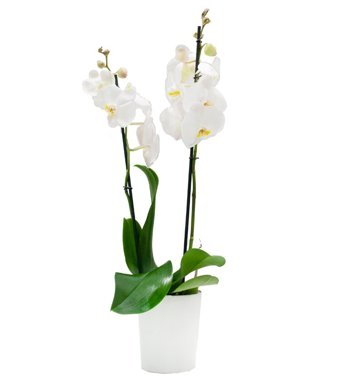 nico Cuidados Para Orquideas Bosquejo Ideas para el hogar