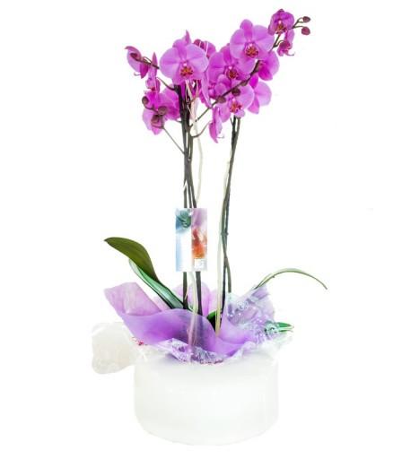 Orquídea Premium