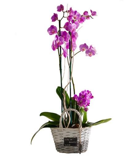Orquídea Cesta