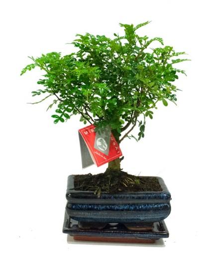 Zanthaxylum Piperitum