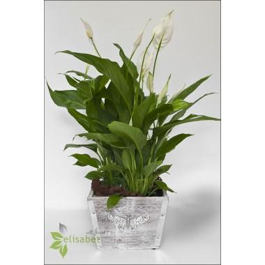 Plantas naturales spatifilium - Plantas de interior online ...