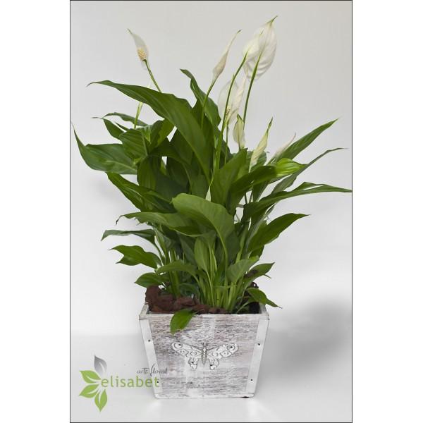 Plantas naturales spatifilium for Plantas de interior online
