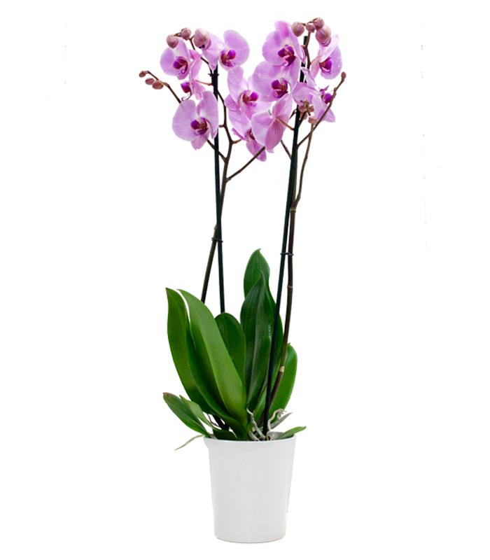 Orqu deas phanaelopsis for Orquideas artificiales