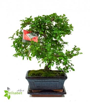Zelkova Parvifolia