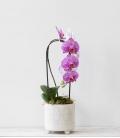 Orquídea Cascada