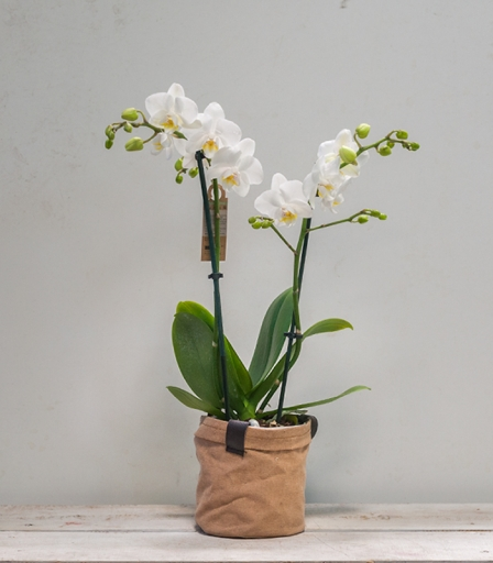 Orquídea Mini