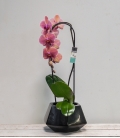 Orquídea Black Diamond