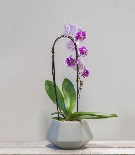 Orquidea Diamond