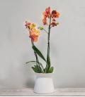 Orquídea Fuego