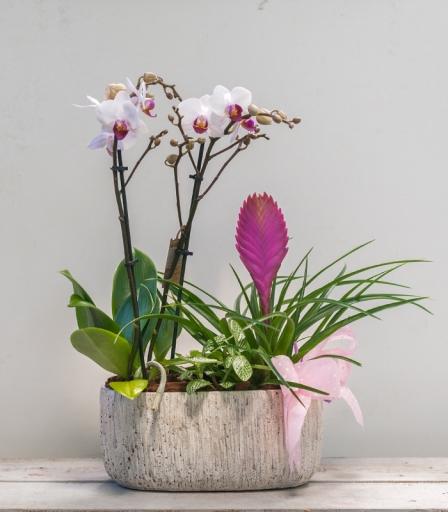 Orquídea Stone