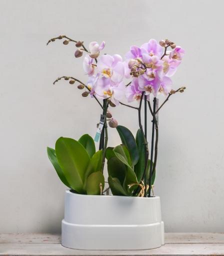 Orquídea Navy