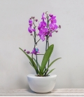 Orquídea Deluxe