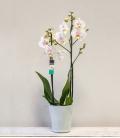 Orquídea White