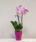 Orquídea Pink