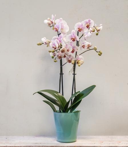 Orquídea Mint