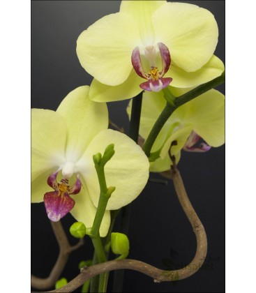 Orquidea en bolsa